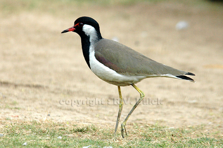 India, Red Wattled Lapwing.  ©  R.V. Bulck